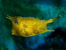 boxfish2