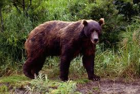 brown bear2
