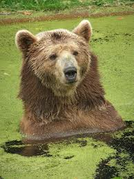 brown bear3