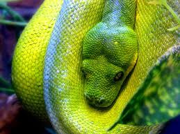 green tree python2