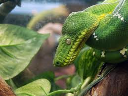 green tree python3