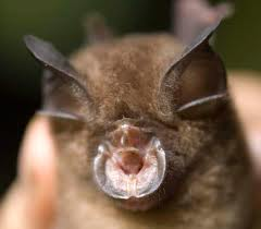 lesser horseshoe bat2