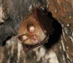 lesser horseshoe bat3