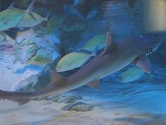 smooth hound shark