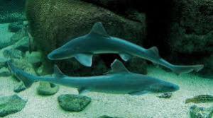 smooth hound shark2