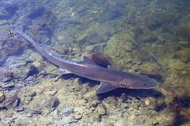 smooth hound shark3