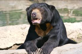 sun bear2