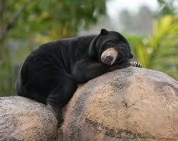 sun bear3