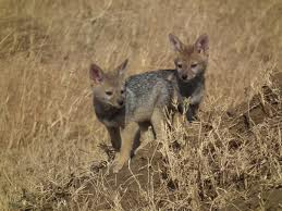black backed jackal2