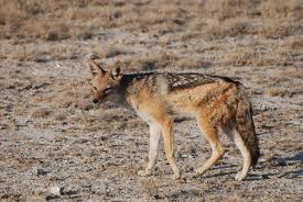 black backed jackal3