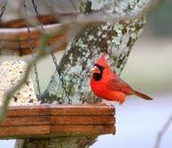 Cardinal Eating Millet