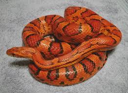 corn snake2