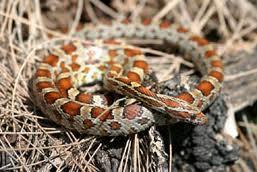 corn snake3
