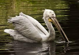 dalmation pelican2