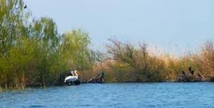 dalmation pelican3