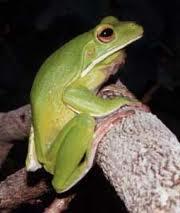 giant tree frog2