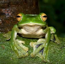 giant tree frog3