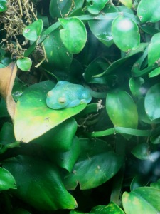 Glass frog on a leaf!