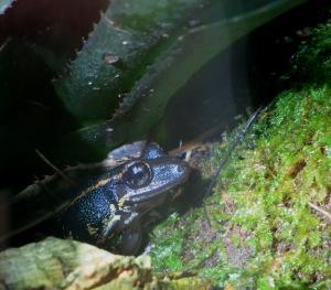 Rain Frog!