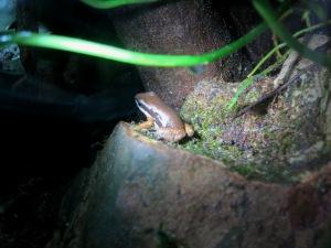 Rocket Frog!