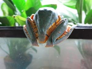 Splendid Leafy Frog bum!