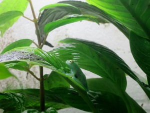 Glass frog chilling on a leaf!