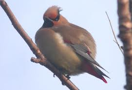japanese waxwing2