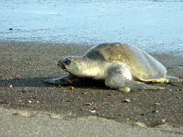 olive ridley sea turtle2