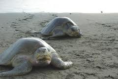 olive ridley sea turtle3