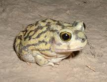 spadefoot frog