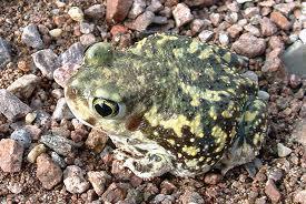 spadefoot frog2