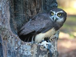 spectacled owl2