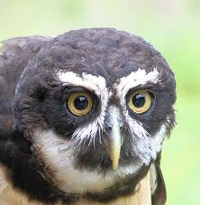 spectacled owl3