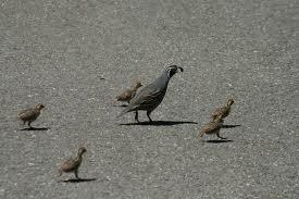 california quail2