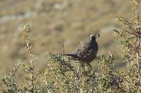 california quail3