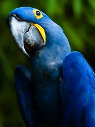 hyacinth macaw2