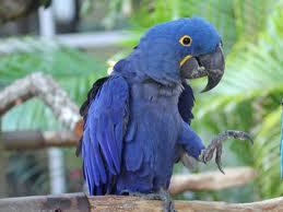 hyacinth macaw3