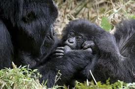mountain gorilla3