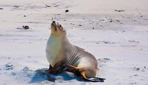 new zealand sea lion3