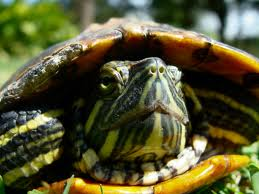 red eared slider3