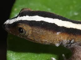 striped day gecko