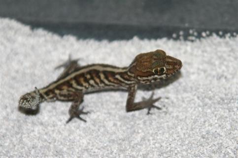 striped day gecko2