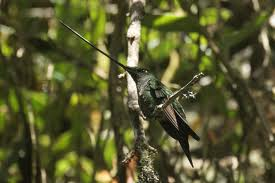 sword billed hummingbird3