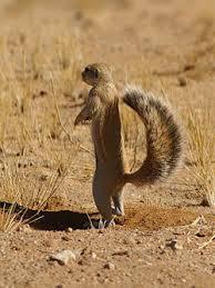 cape ground squirrel2