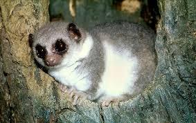fat tailed lemur