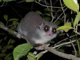 fat tailed lemur2