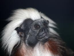 cotton top tamarin2