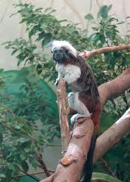 cotton top tamarin3