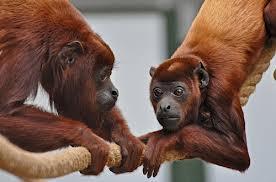 howler monkey3