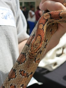Corn snake! Corn snakes don't eat corn, they eat the rodents that live in corn fields though!